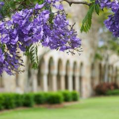 Great Court jacarandas in bloom